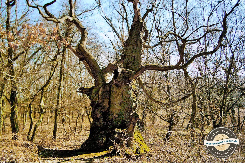 Im Naturschutzgebiet auf der Insel Vilm finden sich uralte Bäume