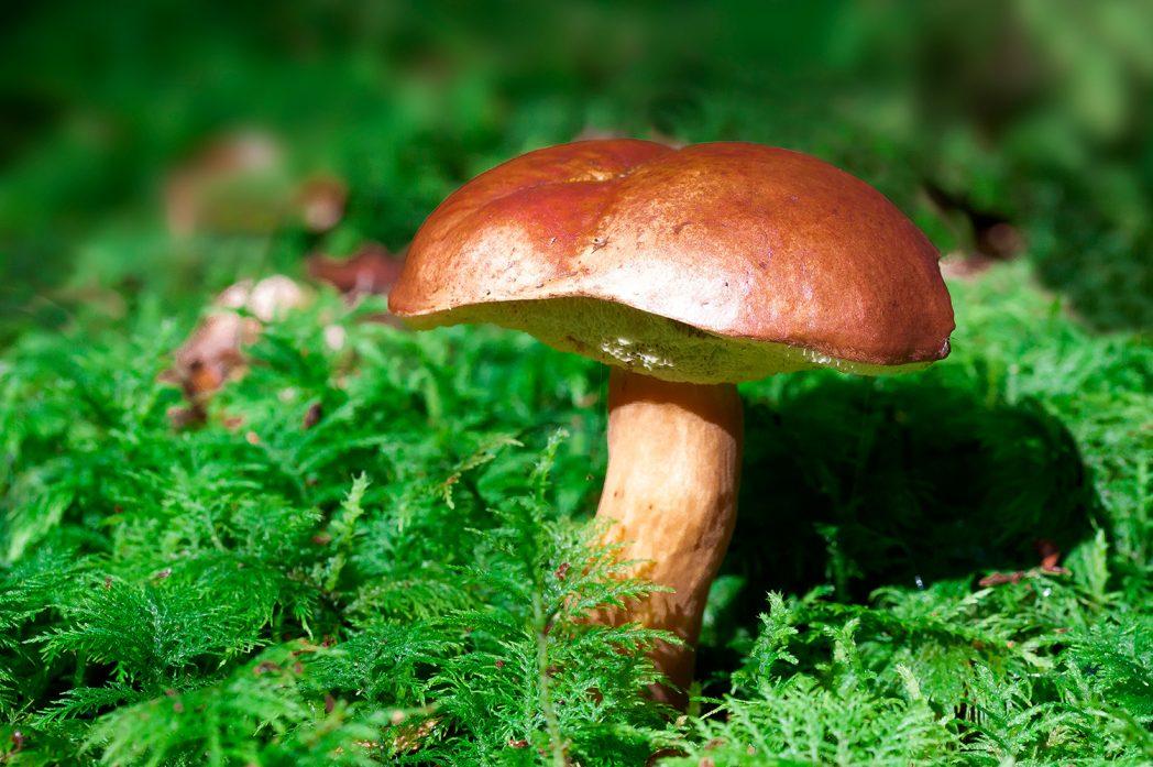 Essbare Pilze im den Wäldern der Insel Rügen